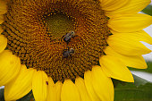 Bees in Sunflower