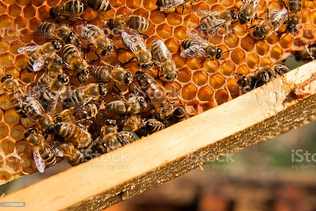 Bees dentro de un Colmena con la reina en el medio foto de stock libre de derechos