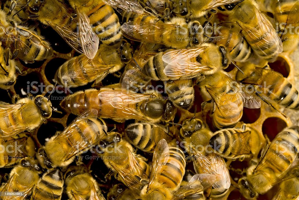 Bees inside beehive with the queen bee royalty-free stock photo