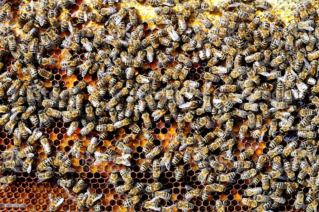 Bees Natural beebread in honeycombs ambrosia apitherapy nutritional stock photo