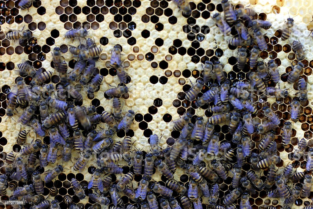 Bees on a beehive stock photo