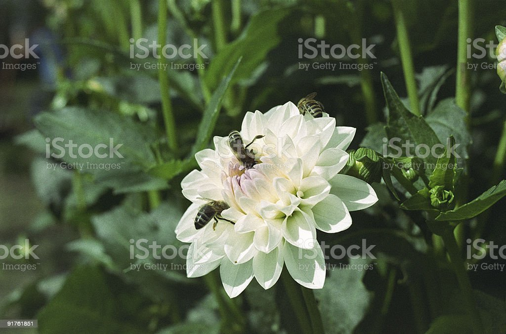 Bees on a dahlia flower stock photo