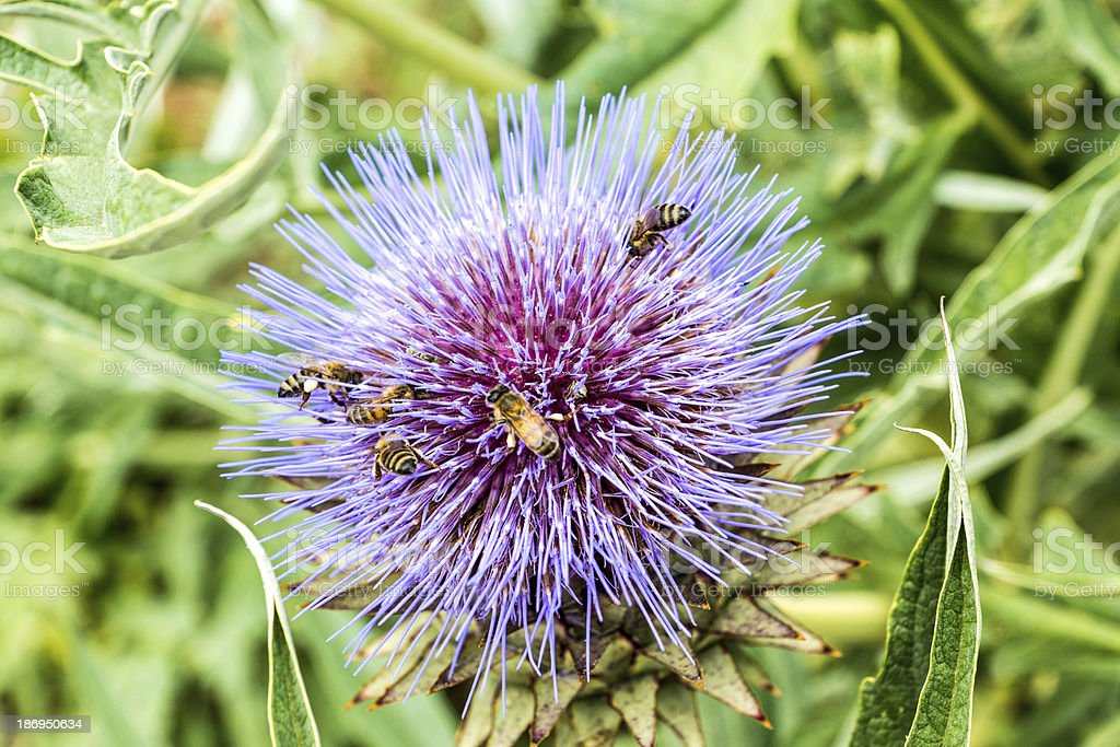 Bees on an Artichoke Flower royalty-free stock photo