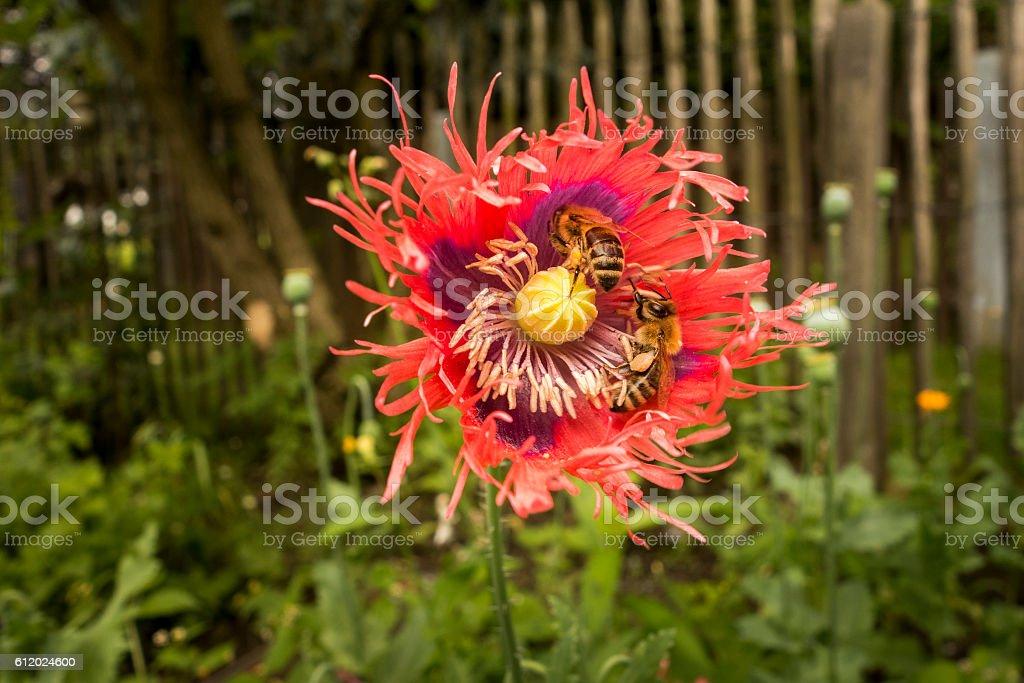 Bees on flower of red poppy closeup. Papaver somniferum. stock photo