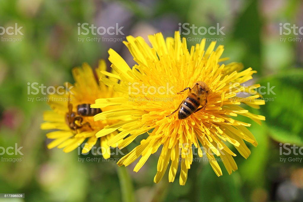 Bees on flowers stock photo