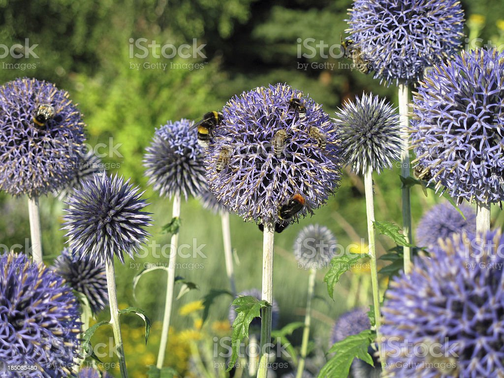 Bees on globe thistle - Echinops bannaticus stock photo