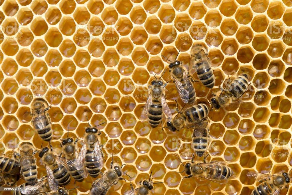 bees on honeycells stock photo