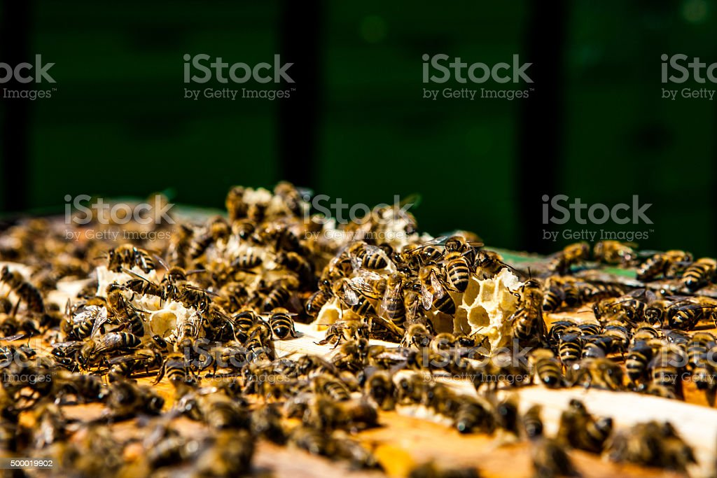 bees on honeycomb in a beehive stock photo