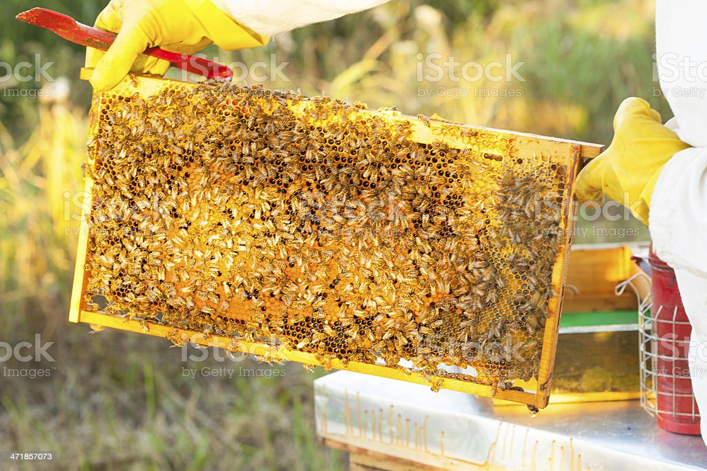 bees on honeycomb royalty-free stock photo