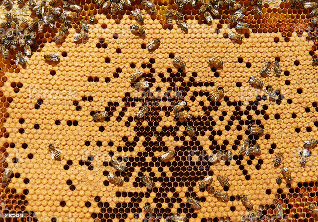 Bees on honeycomb with capped brood stock photo