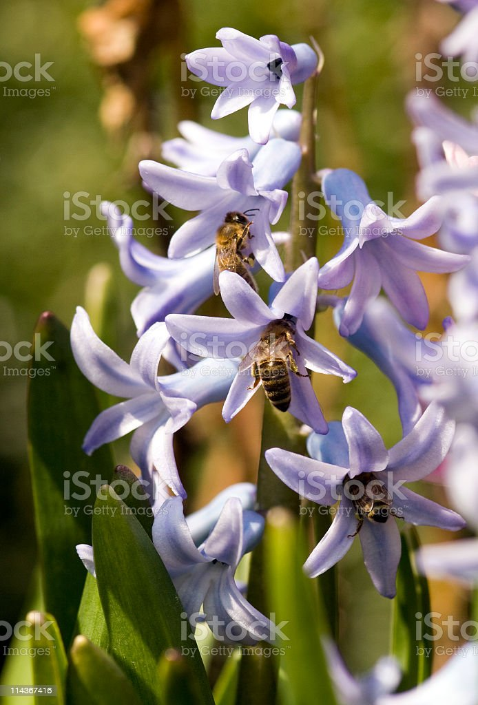 Bees on hyacinth stock photo