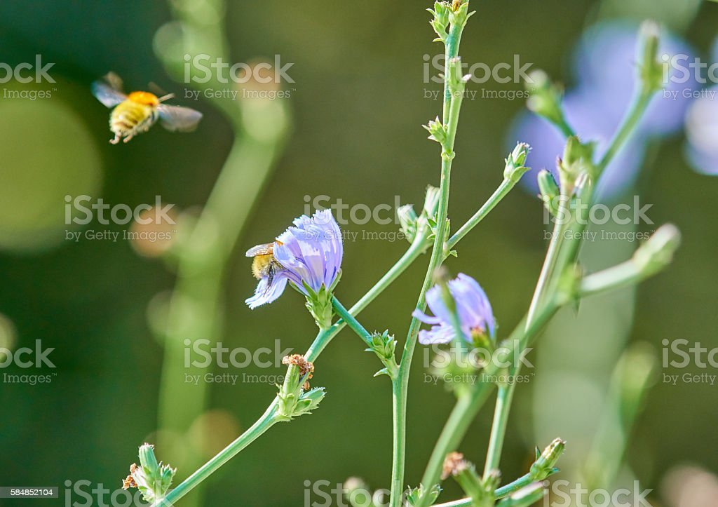 Bees on Malva sylvestris stock photo