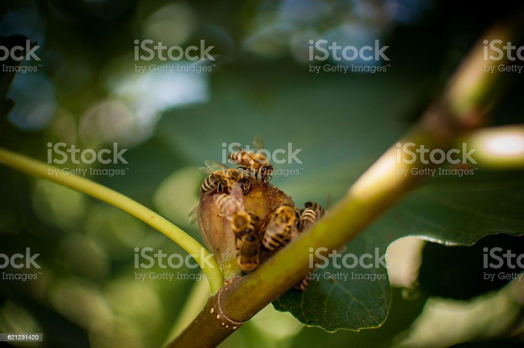 Bees on medlar stock photo