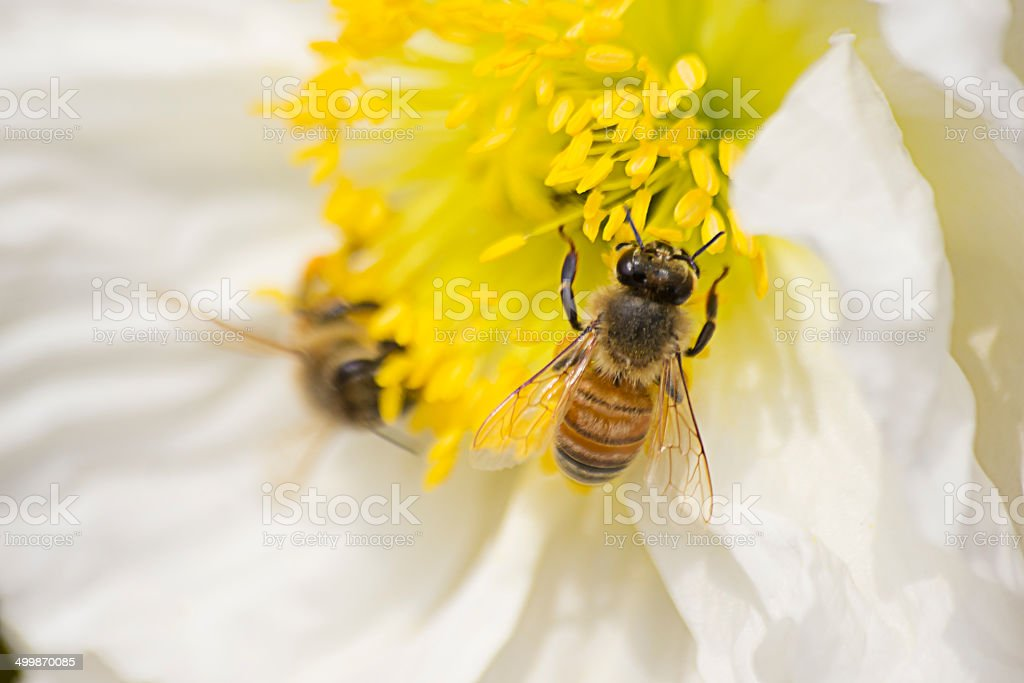 Bees on Poppy royalty-free stock photo