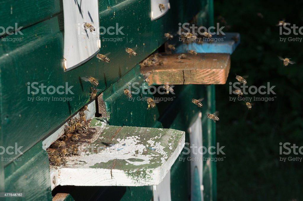Bienen am Bienenstock royalty-free stock photo