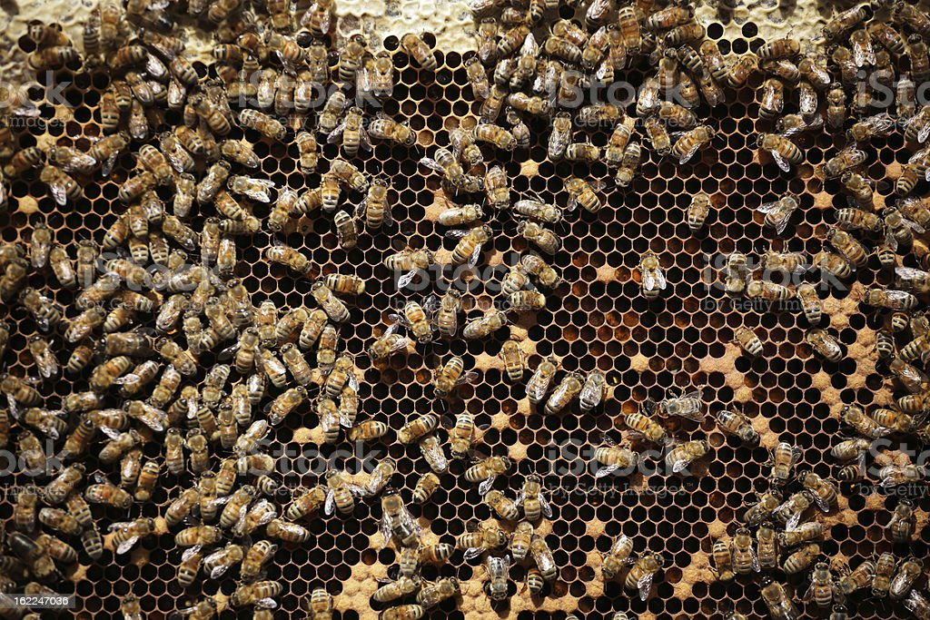 Bees royalty-free stock photo