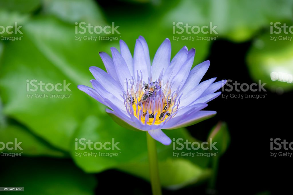 bees pollinating a Purple water lily stock photo