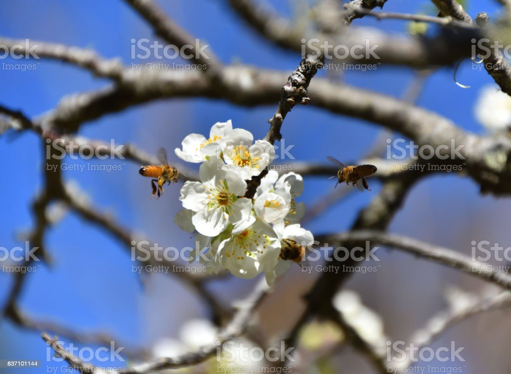 Bees Pollinating stock photo