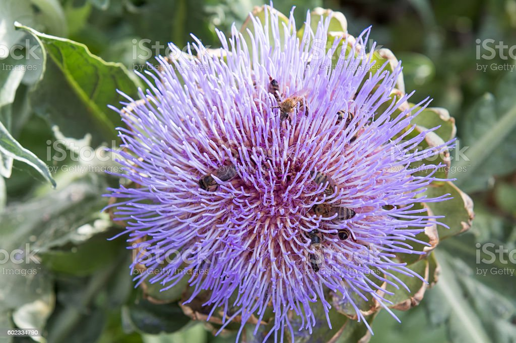 Bees pollinating the purple flowering head of an artichoke. stock photo