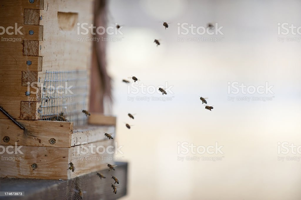 Bees return to the Hive royalty-free stock photo