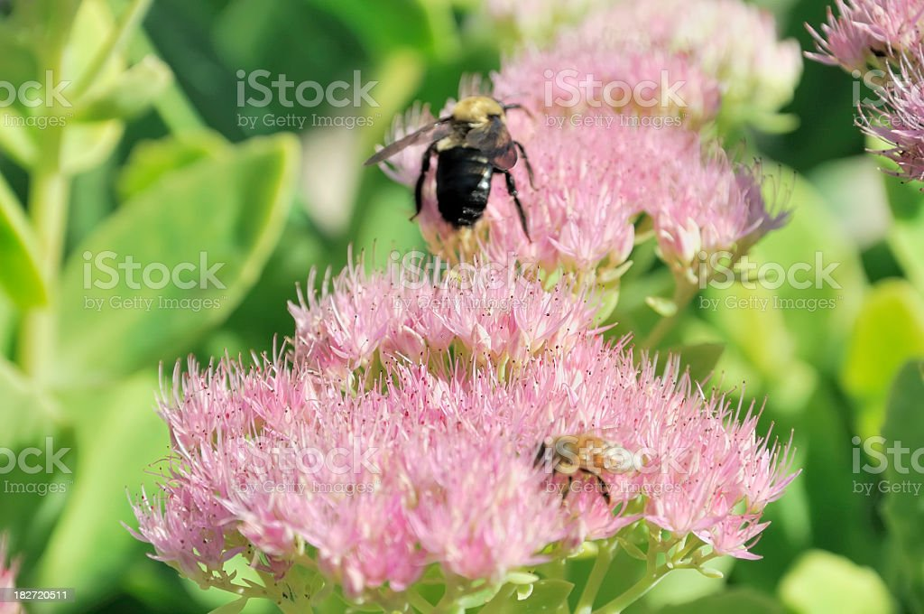 Bees Snacking on Sedum royalty-free stock photo