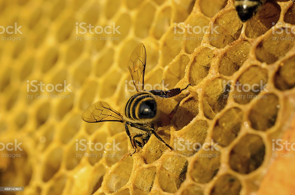 Bees work on honeycomb royalty-free stock photo