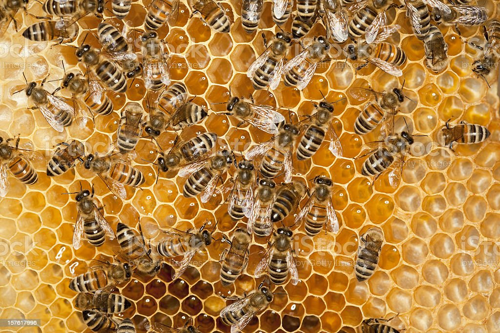 Bees working on honey comb royalty-free stock photo