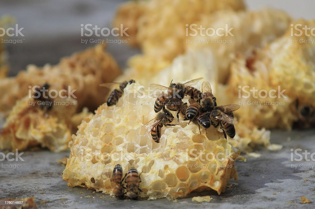 Bees working on honeycombs royalty-free stock photo
