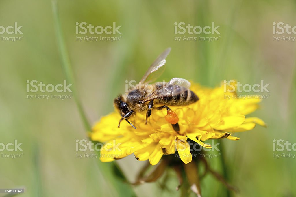 Bees Working royalty-free stock photo