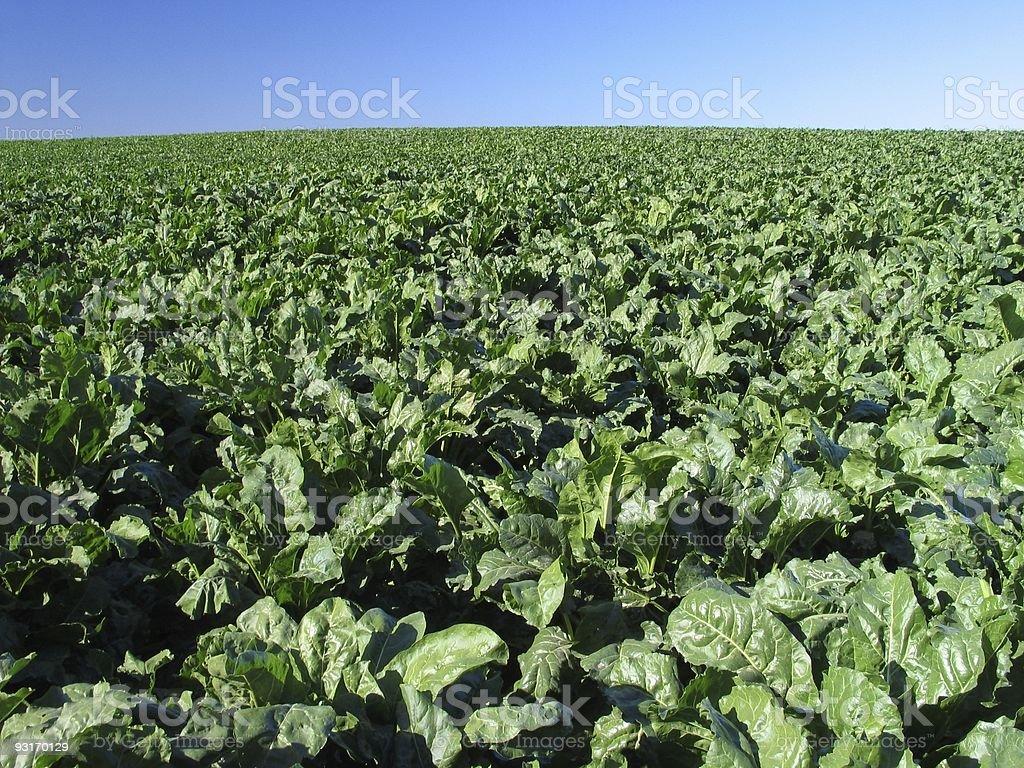 Beet field royalty-free stock photo