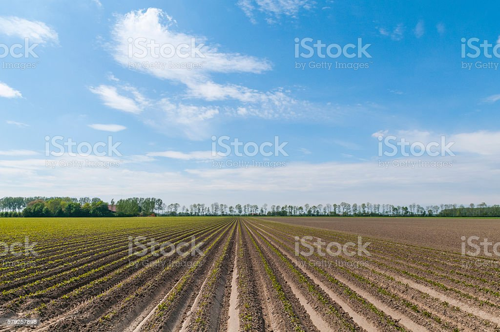 Beet plants crops growing on farm fields during spring stock photo