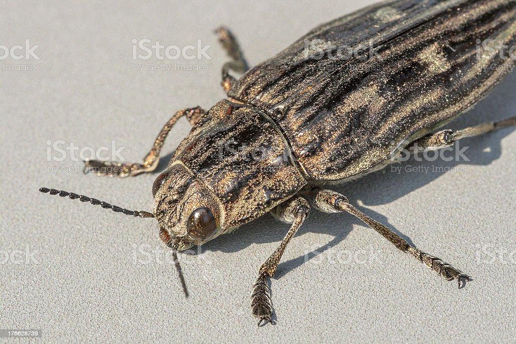 beetle Agriotes lineatus macro stock photo