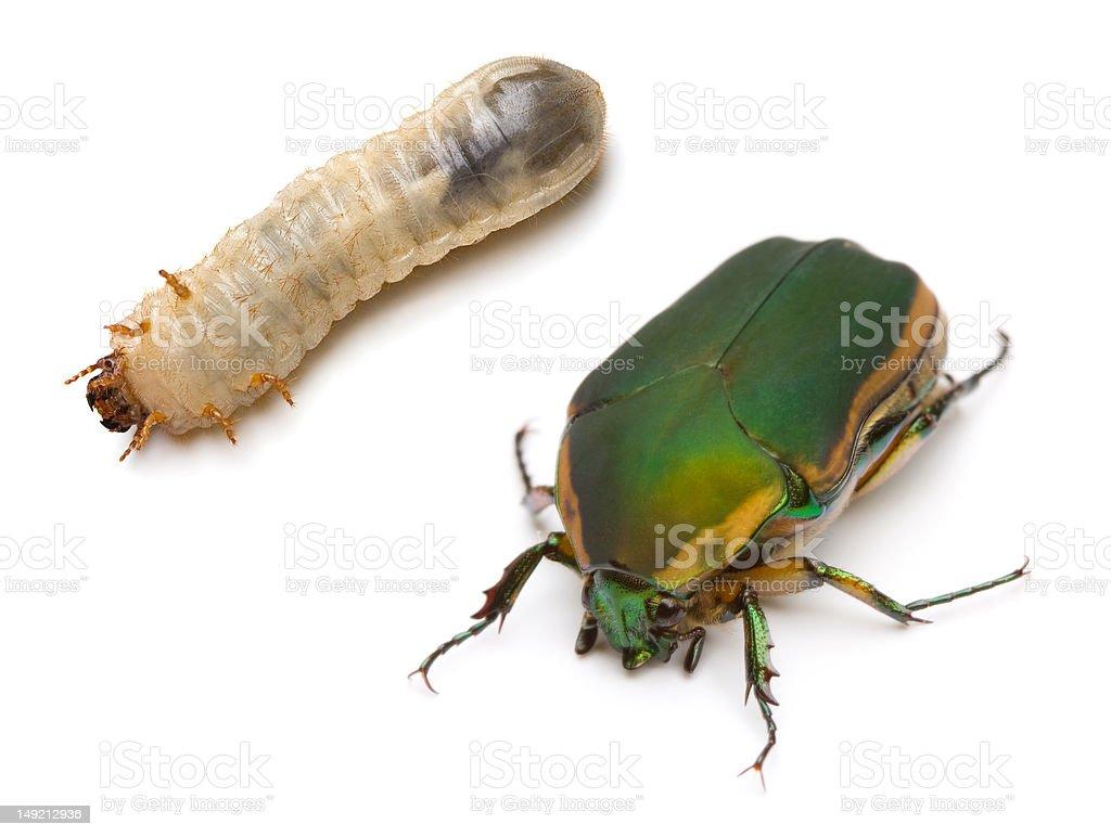 Beetle and Larva royalty-free stock photo