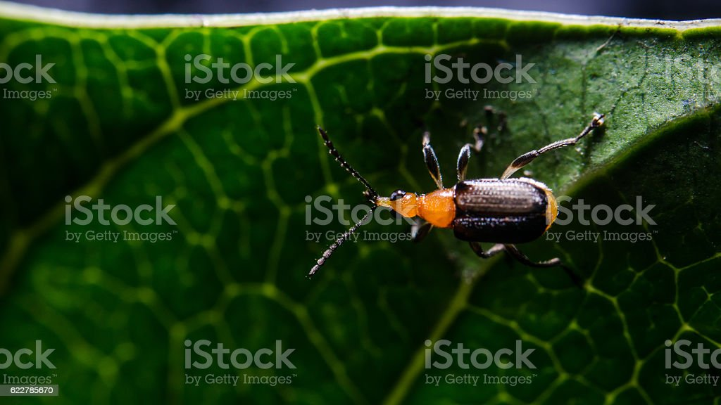 Beetle at green leaf, Focused at eye of bug stock photo
