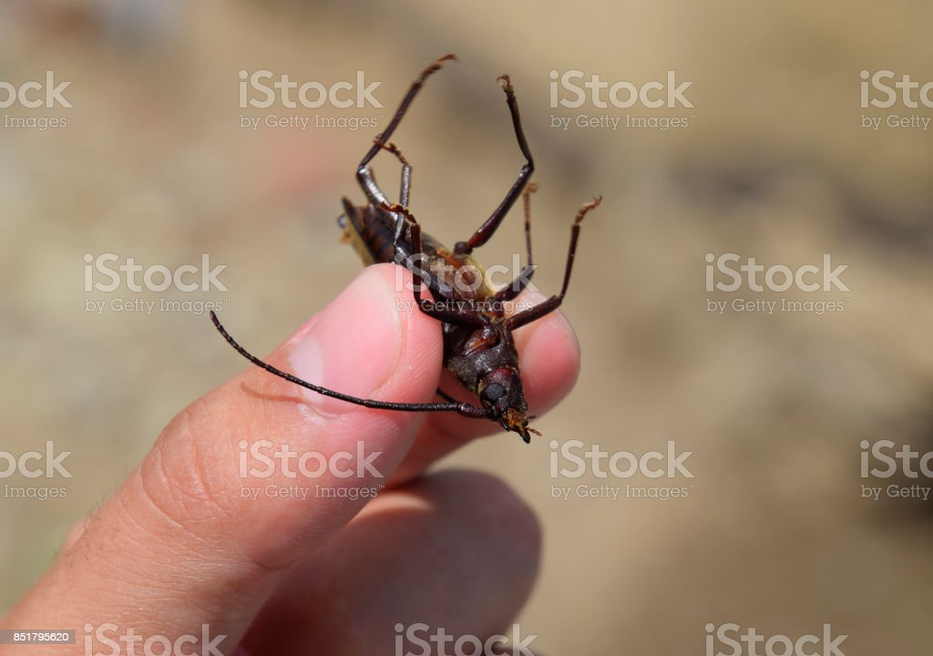 Beetle bark beetle. Imago of an insect. Beetle with long antennae. stock photo