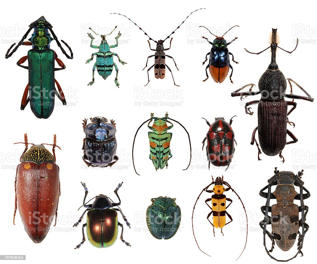 Beetle collection XXXL royalty-free stock photo