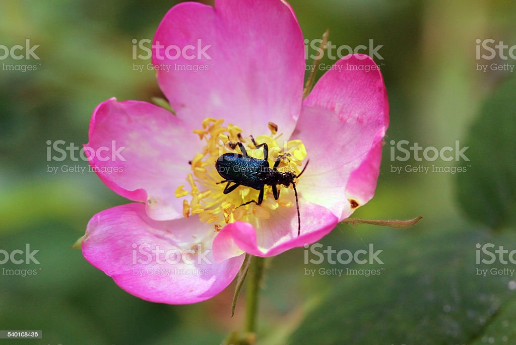 beetle crawling into a flower of wild rose stock photo