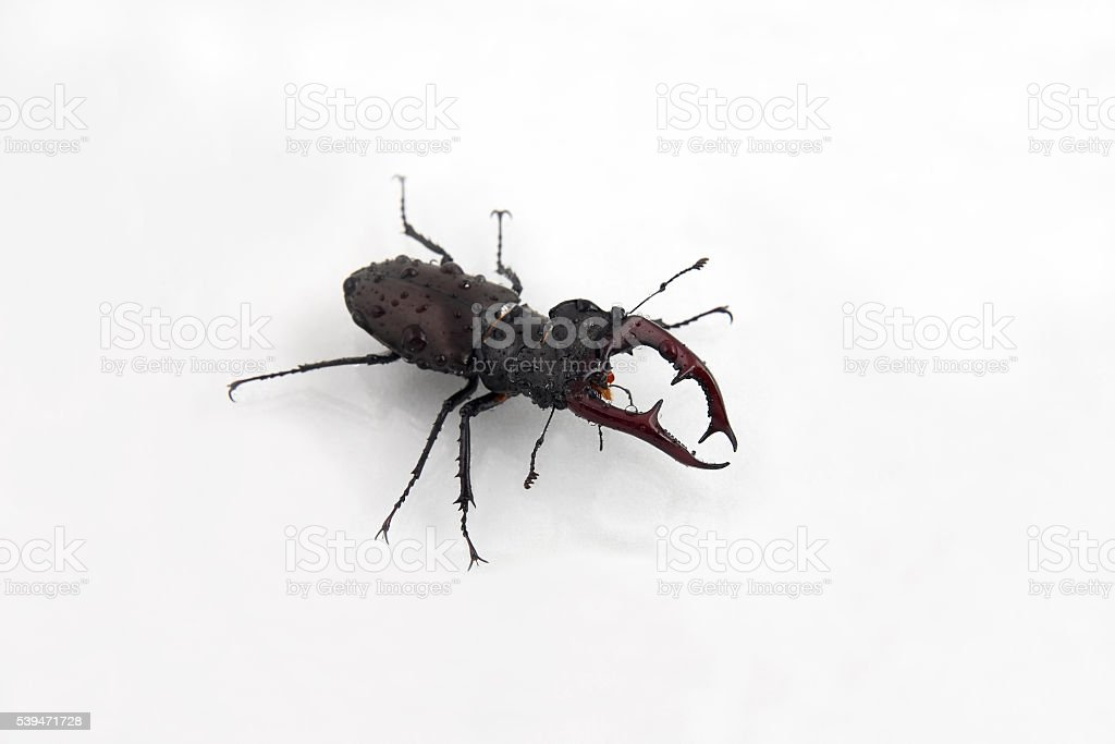 beetle deer on the water drops on white background stock photo