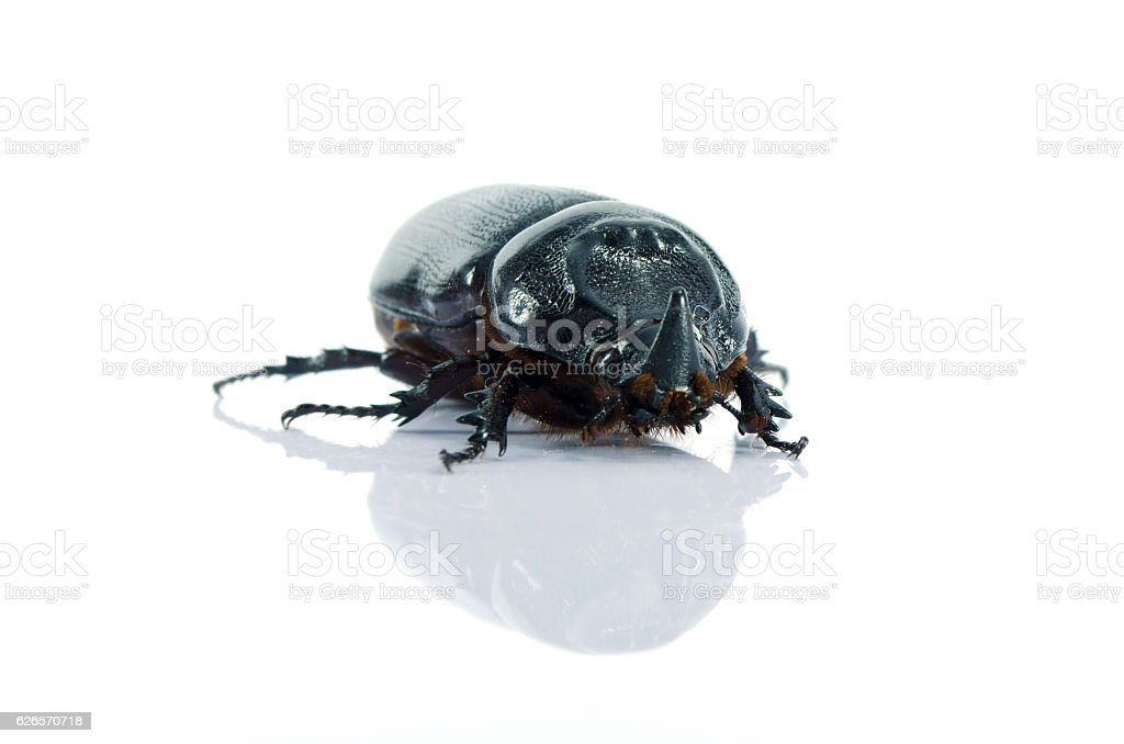 Beetle front isolate stock photo