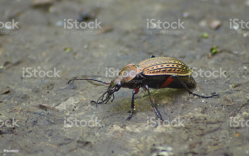 Beetle garden   on the forest path. stock photo