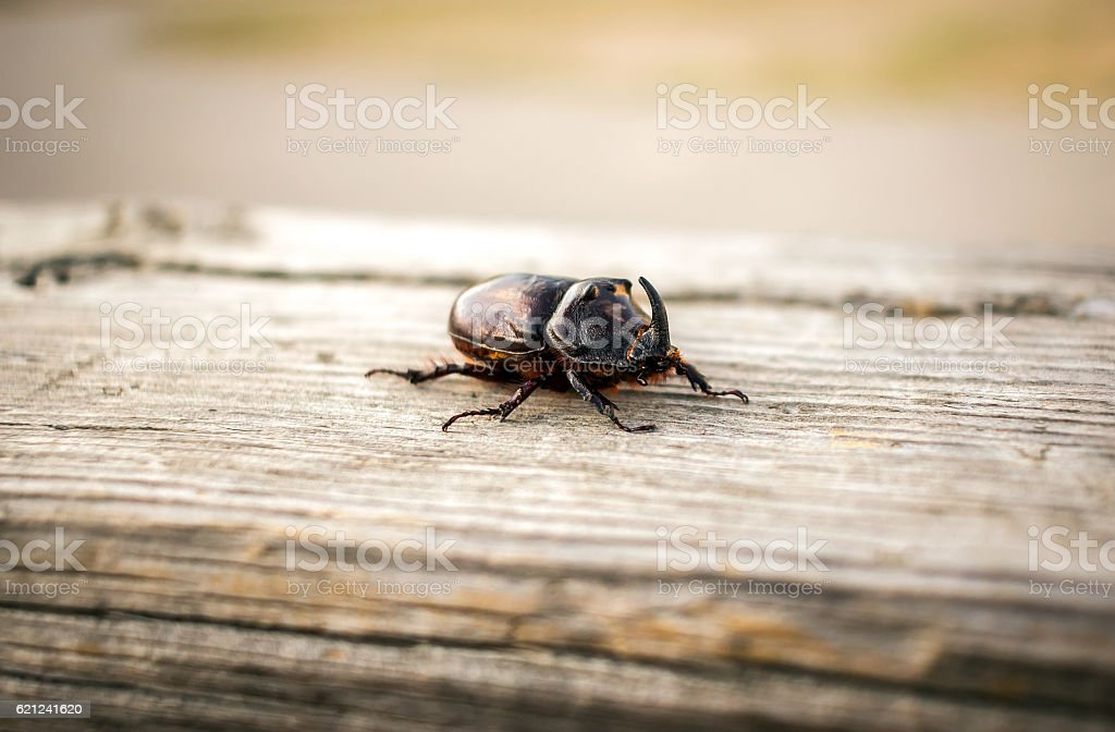 beetle giant rhinoceros on a wooden surface stock photo