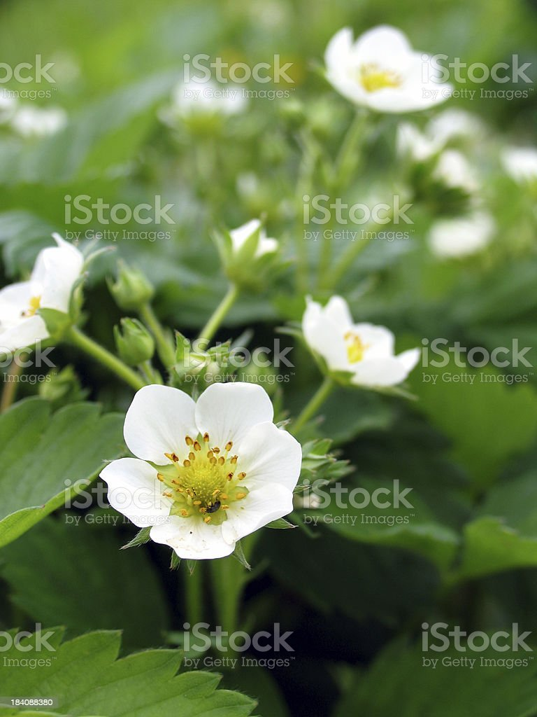 Beetle in strawberry flowers royalty-free stock photo