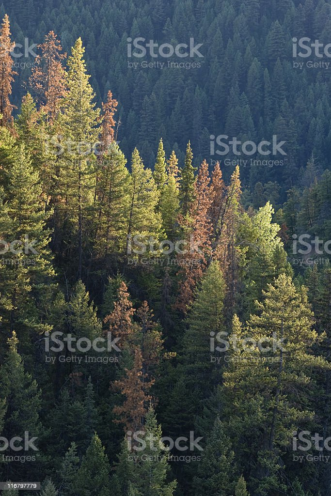 Beetle killed pine trees, dead and red stock photo