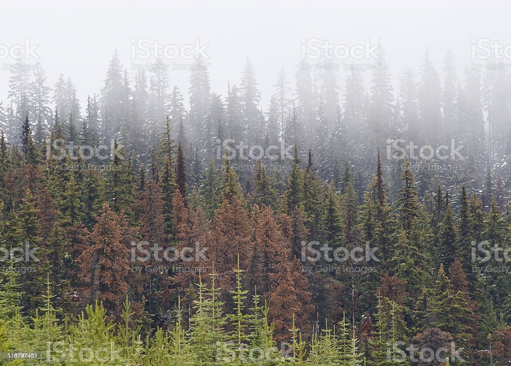 Beetle killed pine trees with fog and new growth stock photo