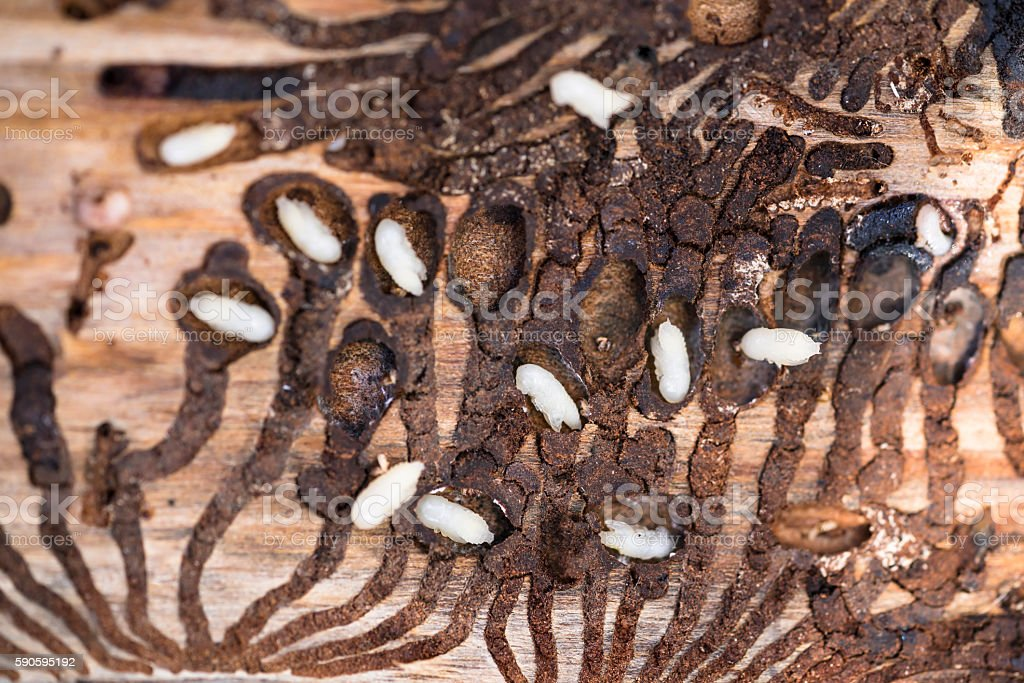 Beetle larvae under the bark pines stock photo