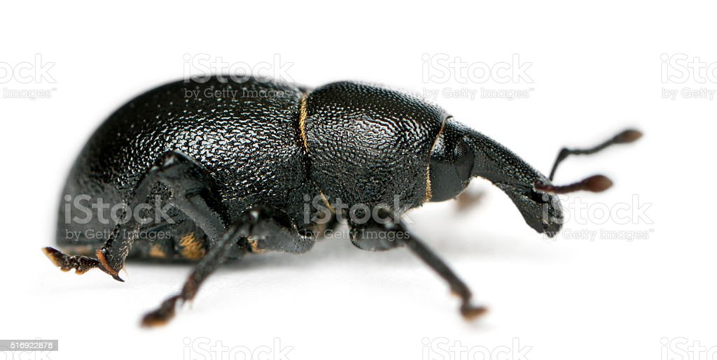 Beetle, Liparus dirus, larva in front of white background stock photo