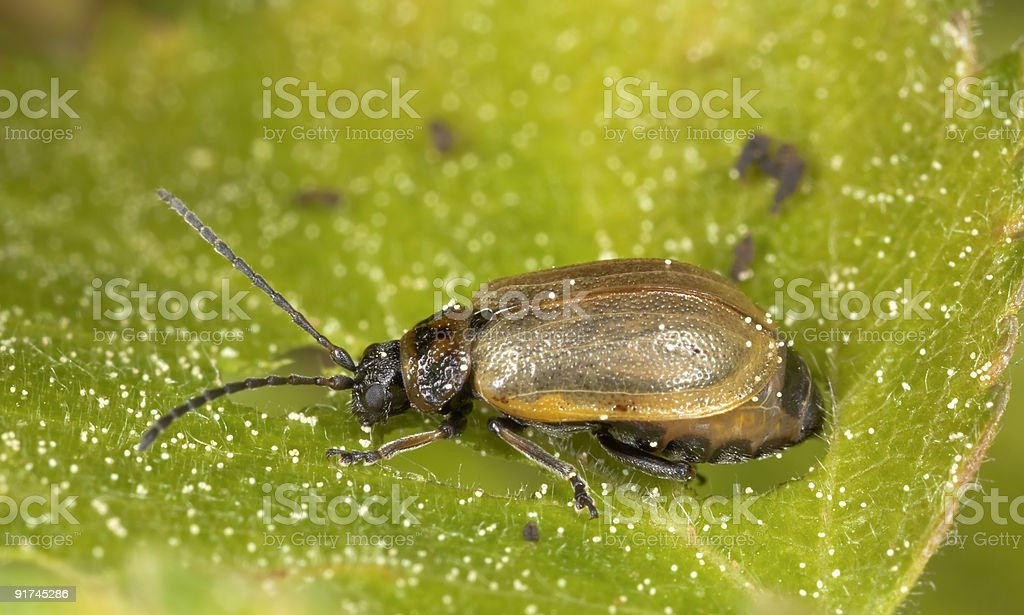 Beetle of the Chrysomelidae family feeding on leaf. stock photo
