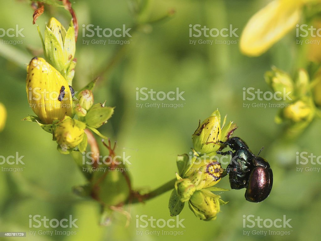 Beetle on a flower royalty-free stock photo