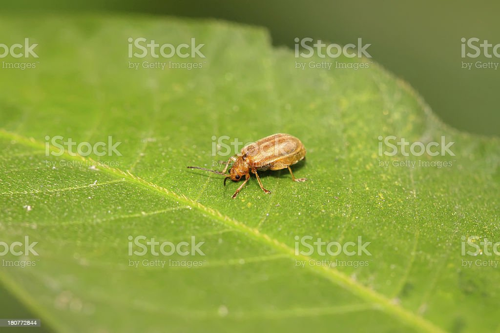 beetle on a green leaf royalty-free stock photo