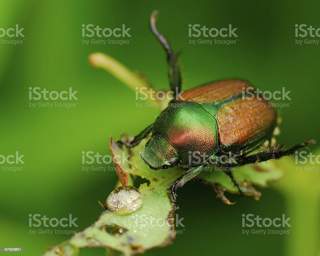 Beetle on a green leaf with a water droplet stock photo